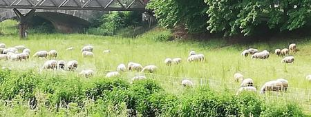 Linen sheep in Göttingen. These animals graze the meadows on a leash. The Leine flows through the university town of Göttingen. The animals graze on the edges of the water in an environmentally friendly and nature-friendly manner.