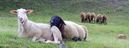 Possibilities and challenges of sheep farming
